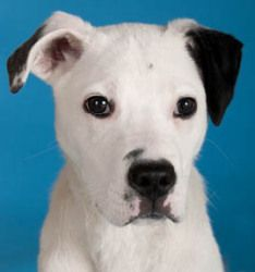Paulie is an adoptable Dalmatian Dog in Chicago, IL. Paulie is a wiggly, happy, playful, sweet and fun, six-month-old, 24-pound, male, Dalmatian/Terrier-mix puppy looking for a loving guardian. Paulie...