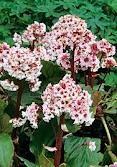 Flowers MARCH-APRIL - Bergenia