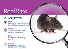 Rodents: All about Roof Rats