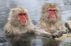 At The Conference Table by Harry Eggens - Photo 76260779 - Animals Beautiful, Cute Animals, Japanese Macaque, Monkey Park, Nagano, Conference Table, Primates, Animal Photography, Old World
