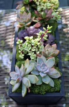 Succulents are ideal for wedding centerpieces or as wedding favors. Click to shop 100's of succulents online