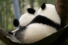 well… i thought of u and maya… >_> … p. u don't have pandas in ur submission tags? hey, thank you, now adding, pandas to the tags. Cute Creatures, Beautiful Creatures, Animals Beautiful, Beautiful Images, Panda Love, Cute Panda, Red Panda, Baby Animals, Funny Animals