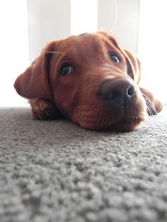 Our next dog...whenever that may be. Red Fox Lab. BEAUTIFUL!