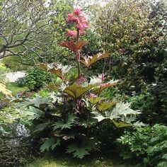 RHEUM palmatum var. tanguticum (Rhubarbe) : Robuste et très rustique. Estimée par son feuillage ample, décoratif. Floraison spectaculaire. Aime les sols profonds, nutritifs et frais, même lourds. Feuilles à lobes pointus, revers rougeâtres. Fleurs crèmes. Fruits brun rougeâtre.