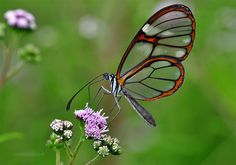 Stunning Photos of the Glass-winged Butterfly