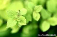 zarte grüne Blätter - freestockgallery.de
