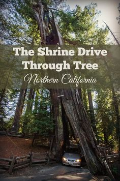 Drive your car through a giant redwood tree at the Shrine Drive Through Tree - Avenue of the Giants, Humboldt County, California