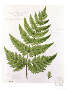 Broad Prickly-Toothed Buckler Fern, Painted at Brantwood, 6/7th December 1857