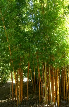 In the Bamboo Grove at The San Diego Botanic Gardens