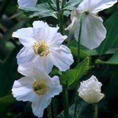 White Poppy Flower Seed