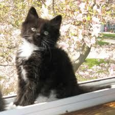 just like kitten BeBee was  black and white long haired tuxedo cat