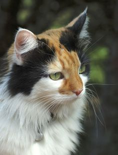 Calico Cats Guide (including A Quiz!) – TheCatSite Articles On this board we pin all our cat pictures, cat videos and cat stories. All cute cat and kitten things like cats and kittens videos, cats and kittens funny stuff Cute Cats And Kittens, Cool Cats, Kittens Cutest, I Love Cats, Ragdoll Kittens, Tabby Cats, Funny Kittens, Bengal Cats, White Kittens