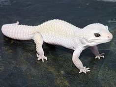 Albino Gecko.. want one of these so bad