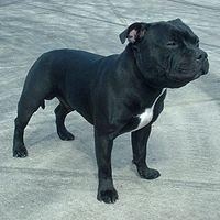 Staffordshire bull terrier – Wikipédia, a enciclopédia livre