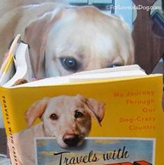 Yellow Lab Rudy loves the new dog book Travels With Casey by Benoit Denizet-Lewis