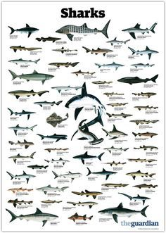 types of sharks - Google Search