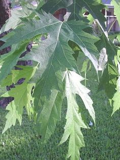 The Fast Growing Silver Maple