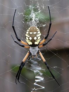 """CHARLOTTE yes charlotte the spider from """"charlotte's web"""" did reside in Charlotte, I met her many time as a child, both in and out of the book. Weird Insects, Bugs And Insects, Beautiful Creatures, Animals Beautiful, Reptiles, Garden Spider, Spider Art, Cool Bugs, Itsy Bitsy Spider"""
