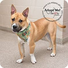 URGENT! I am at a kill shelter in Troy, OH - Pit Bull Terrier Mix. Meet Sparky, a dog for adoption. http://www.adoptapet.com/pet/12837895-troy-ohio-pit-bull-terrier-mix