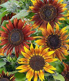 Ornamental Mixture of Sunflowers (organic) for sunflower garden.