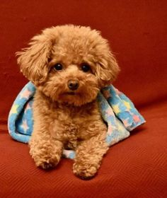 Bear4 Poodle Puppy Miniature, Red Poodle Puppy, Teddy Bear Poodle, Teacup Poodle Puppies, Tiny Toy Poodle, Poodle Puppies For Sale, Toy Puppies, Cute Puppies, Cute Dogs