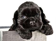 ' - Cute Black English Cocker Spaniel Puppy Peeking Out of a Silver Gift Box' Black Cocker Spaniel Puppies, American Cocker Spaniel, Love My Dog, Cute Puppies, Cute Dogs, Dogs And Puppies, Doggies, Best Dog Names, Best Dogs