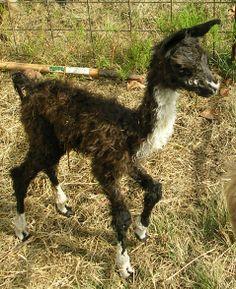 Nino, cute baby llama Llamas, Baby Llama, Cute Babies, Nature, Animals, Life, Naturaleza, Animales, Animaux