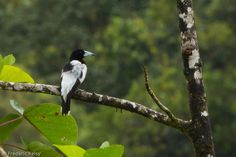 Hooded Butcherbird (Cracticus cassicus) A bird perched