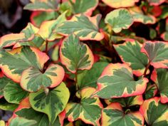 Houttuynia cordata 'Chameleon' - Buntblättriger Garten-Eidechsenschwanz - dreifärbige Blätter, die stark duften! Bodendecker