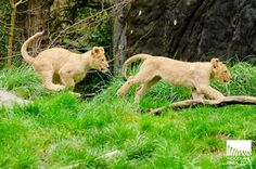 woodland park zoo lion cubs so cute! Seattle, Woodland Park Zoo, Lion Cub, Pet Care, Cubs, Animal Care, March 2013, Animals, Routine