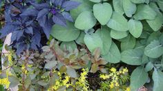 Purple Flash pepper and green/grey sage make for nice colors combined with others in a planter out front. :)