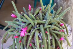 Gardening in Africa: Flower of the Rattail Cactus