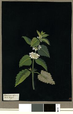 Lamium Album, formerly in an album (Vol.V, 90); Arch Angel. 1779 Collage of coloured papers, with bodycolour and watercolour, and a leaf sample, on black ink background