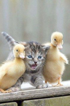 adorable kitten and ducklings
