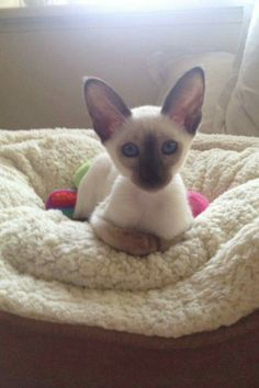 My what big ears you have ? I Love Cats, Crazy Cats, Cute Cats, Funny Cats, Siamese Kittens, Kittens Cutest, Cats And Kittens, Pretty Cats, Beautiful Cats