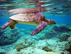 Mauritius Turtle