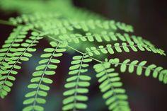 #green #macrophotography #garden #botanical #ferns Macro Photography, Fine Art Photography, World Of Color, Ferns, Photographs, Romantic, Abstract, Garden, Pattern