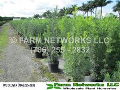 Podocarpus for business
