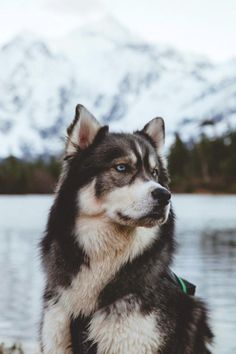 Wonderful All About The Siberian Husky Ideas. Prodigious All About The Siberian Husky Ideas. Cute Puppies, Cute Dogs, Dogs And Puppies, Doggies, Fluffy Puppies, Beautiful Dogs, Animals Beautiful, Miniature Husky, Alaskan Husky
