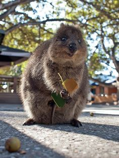 The Quokka. How did I not know this adorable happy animal existed?! Aaaaaw.