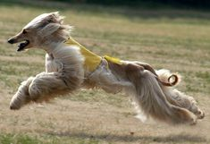 """A sight hunter  Hunters in Afghanistan once referred to the Afghan Hound as """"the Noah's Ark dog""""."""