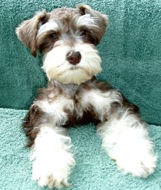 Texas T's Toy Schnauzers absolutely adorable