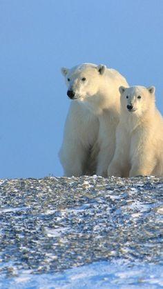 bears, polar bears, family, snow