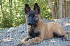 Belgian Shepherd / Owczarek belgijski