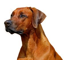 how to fix a constipated dog Become A Dog Trainer, Pet Shop Boys, Dog Training Techniques, Best Dog Training, Buy Pets, Rhodesian Ridgeback, Pet Care, Best Dogs, Pet Supplies
