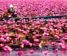 まるで天国のような景色が広がるこの場所は、タイ北東部、ウドンタニ県クンパワーピー郡にある「ノンハン湖」。通称「紅い睡蓮の海」とも呼ばれる広大な湖で、その大きさは東京の葛飾区とほぼ同じ大きさ。水面が紅い蓮の花で埋め尽くされ、このような息を呑むほど美しい光景を見ることができます。ノンハン湖は広大なので蓮の群生エリアへはボートで向かいます。群生エリアに到着すると、360度、見渡す限り蓮の花で埋め尽くされた圧巻の景色が広がっています。