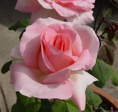""" Grand Siècle "" - Pink blend Hybrid Tea Rose - Delbard - 1976"