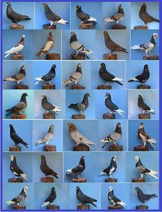 Dove Pigeon, Pigeon Bird, Racing Pigeon Lofts, Bird Breeds, Homing Pigeons, Pigeon Breeds, Loft Design, Colorful Birds, Coops