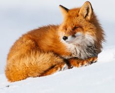 The Beauty of Wildlife - Fox by © Ivan Kislov Animals Beautiful, Cute Animals, Wild Animals, Beautiful Images, Fox In Snow, Fantastic Fox, Amazing, Little Fox, Fox Art