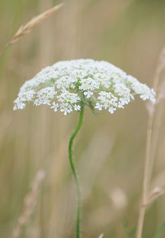 Queen Ann's Lace. Reminds me of my childhood when we'd pick a bouquet and then dye them different colors.